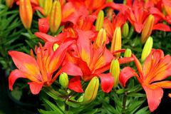 Flora asiatic lilies Stock Photos