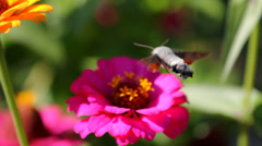 Insect flying over a flower and feeding with nectar Stock Footage