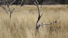 Arid land with dried vegetation and isolated trees Stock Footage