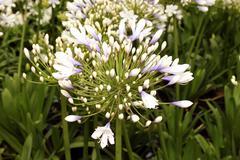 flora blue ice agapanthus - stock photo