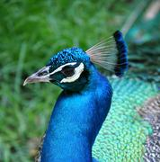 Waccatee zoo - peacock regal blue 3 Stock Photos