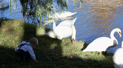 Little child sit closely with big swans, lake shore, child play, birds nibble Stock Footage