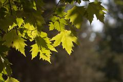 Stock Photo of maple leaves on the tree in nature