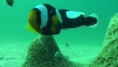 Saddleback clown fish family short Stock Footage