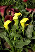flora yellow arum lily - stock photo