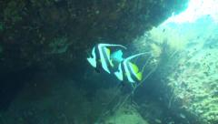 Banner fish under rock face Stock Footage