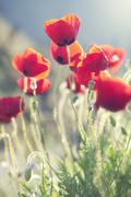 Artwork with poppies Stock Photos