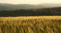 Wheat field in hilly countryside HD Footage