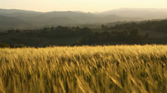 Wheat field in hilly countryside - stock footage