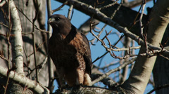 Red Tail Hawk Stock Footage