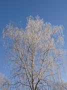 birch tree with hoarfrost - stock photo
