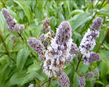 BEE BUSY POLLINATING A CLUSTERS OF FLOWERS. (v) Stock Footage