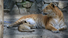 Liger with her young cub. Stock Footage