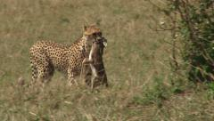 Cheetah drops down a baby gazelle Stock Footage