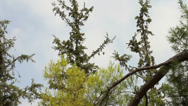Stock Video Footage of Coniferous forest