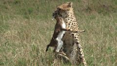 Cheetah carrying a baby gazelle in the mouth Stock Footage