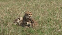 Cheetah killing a baby gazelle Stock Footage