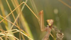 Praying mantis turns to look at camera HD Stock Footage