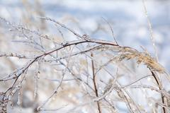 Stock Photo of some plants in beatufiul hoarfrost