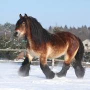Nice dutch draught horse with long mane running in the snow Stock Photos