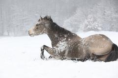 nice quarter horse rolling in the snow - stock photo