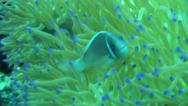 Stock Video Footage of pink anemone fish close up