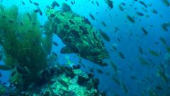 Close up of giant grouper on top of pinnacle Stock Footage