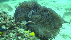 Pink anemone fish in soft coral Stock Footage