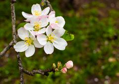 Small flower of the apple tree Stock Photos