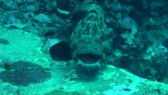 Close up of giant grouper Stock Footage
