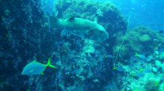 Starry puffer swimming Stock Footage