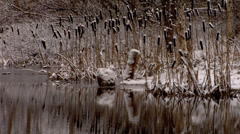 Cattail winter river Stock Footage