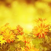 Chrysanthemum golden floral background Stock Photos