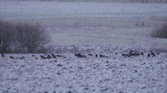 Winter field jackdaws birds fly Stock Footage