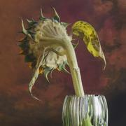 wilted sunflower - stock photo