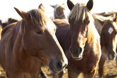 Stock Photo of Horses in a ranch in Inner Mongolia