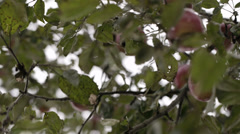 Gathering fresh apples. Stock Footage