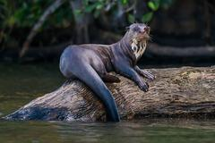 Giant otter standing on log in the peruvian amazon jungle at madre de dios pe Stock Photos