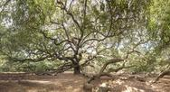 Stock Photo of immense live oak tree