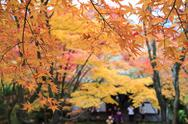 Stock Photo of Autumn Japanese garden with maple for adv or others purpose use