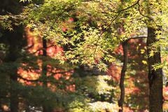 Autumn Japanese garden with maple in Kyoto,Japan - stock photo