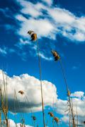 reeds and clouds with a bit of wind - stock photo