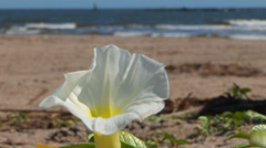 White Morning Glory on Beach Stock Footage
