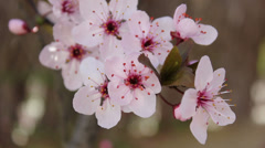 Almond flower 03 Stock Footage