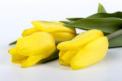 Beautiful bouquet of yellow flowers of tulips on a white background Stock Photos
