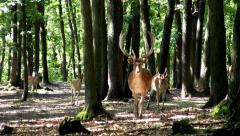 Fallow deers comming Stock Footage