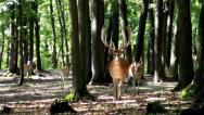 Stock Video Footage of Fallow deers comming