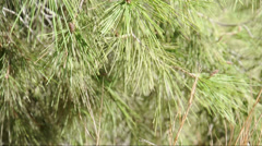 Branch of a pine tree in the wind Stock Footage
