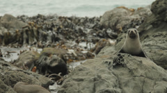 Fur Seal in New Zealand peering up and out towards rock Stock Footage