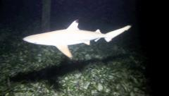 Black tip reef shark at night swims into camera Stock Footage